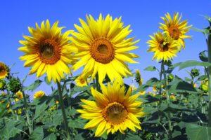 sunflowers-268015_1280